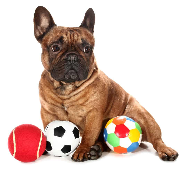 French Bulldog with three balls dog toys